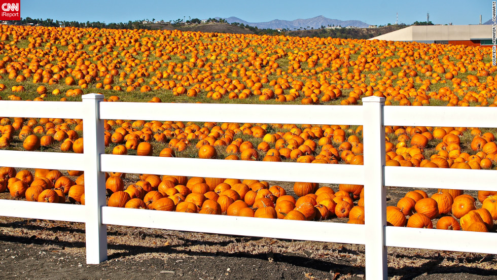 "Jennifer L. Schwartz <a href=""http://ireport.cnn.com/docs/DOC-858849"" target=""_blank"">noticed this pumpkin patch</a> when driving around the Pomona campus in California. She syas that the pumpkins didn't grow there -- they simply appeared t one day, having been brought in for a local pumpkin festival. ""It was so unusual I went back in the afternoon just to take the photos,"" she said."