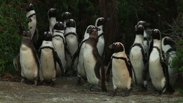 vassileva.safrica.penguins_00004920