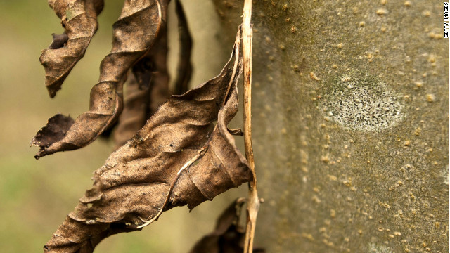Dead leaves hang on an infected Ash tree in Pound Farm Woodland on November 8, 2012 near Ipswich, United Kingdom.