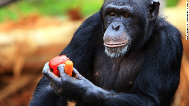 A chimpanzee receives a Christmas treat at Taronga Zoo on December 20, 2007 in Sydney, Australia.