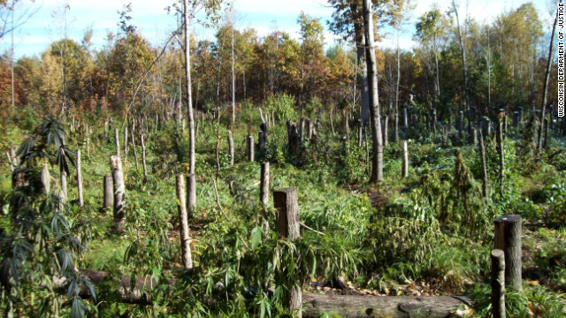 Marijuana growing operations can cause serious damage to the forests.