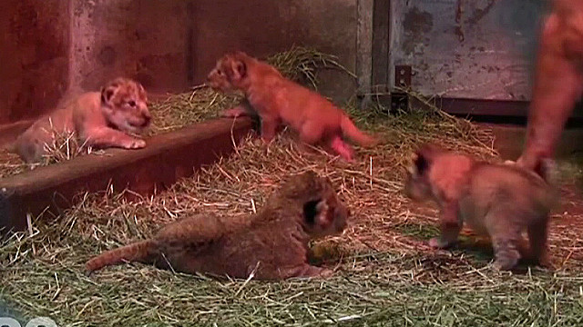 vo quadruplet lion cubs at play_00002930