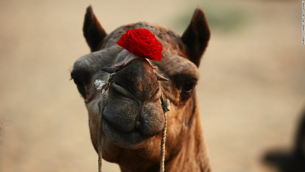 A camel for sale sports a plastic rose over its nose on Wednesday.