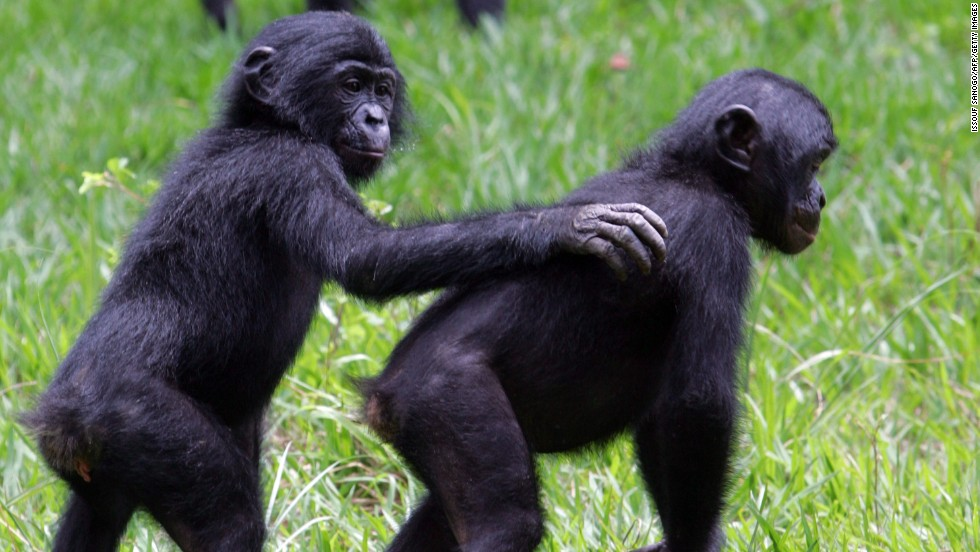 The bonobo is an endangered ape found only in the Democratic Republic of Congo.