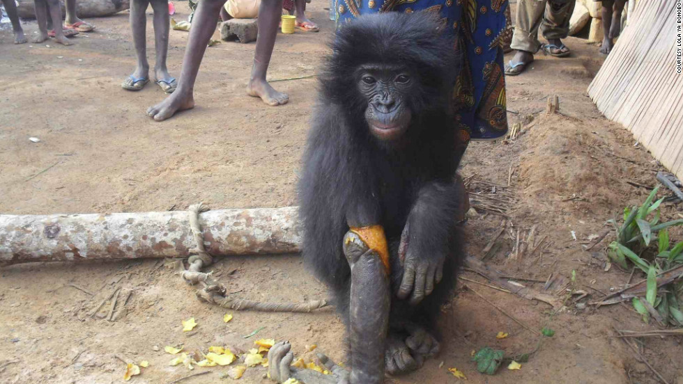 The little female, named Bolomba, has now arrived at Lola Ya Bonobo where she received treatment for her broken arm.
