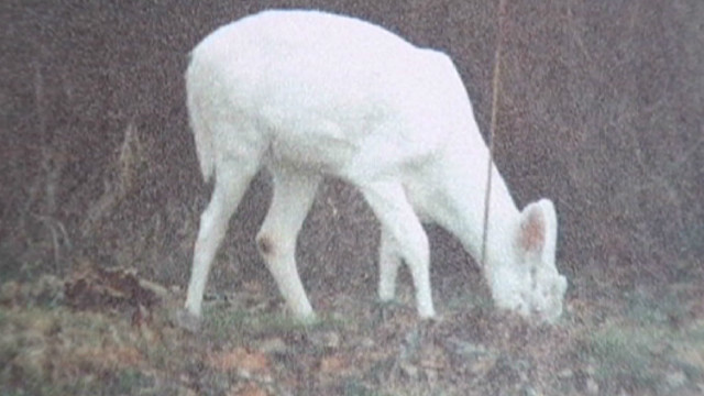 dnt in albino deer illegal hunting_00002521