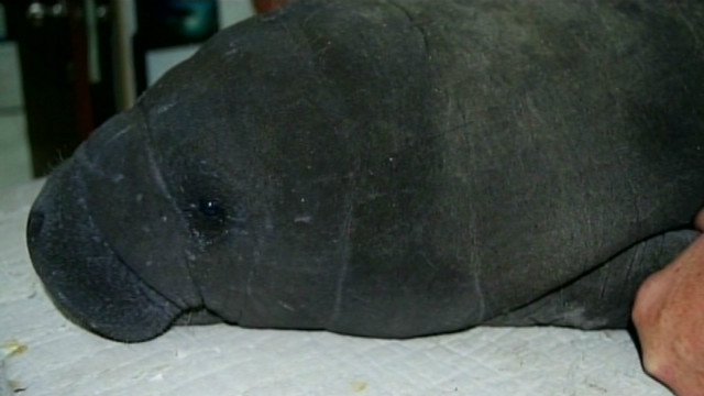 Baby manatees nursed back to health