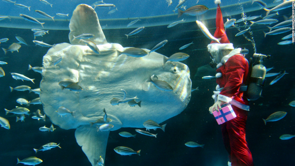 A diver wearing a Santa Claus costume feeds a sunfish during a Christmas show at the Hakkeijima Sea Paradise Aquarium in Yokohama, Japan, on Wednesday, November 21. The show will be held daily until Christmas Day.