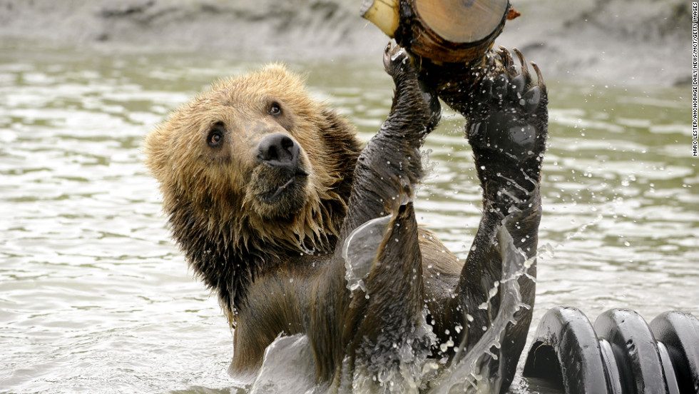 <strong>June 13: </strong>Taquoka plays with a log in a pond in his enclosure at the Alaska Wildlife Conservation Center in Portage, Alaska. The 2-year-old male brown bear began a trip to his new home in Sweden.