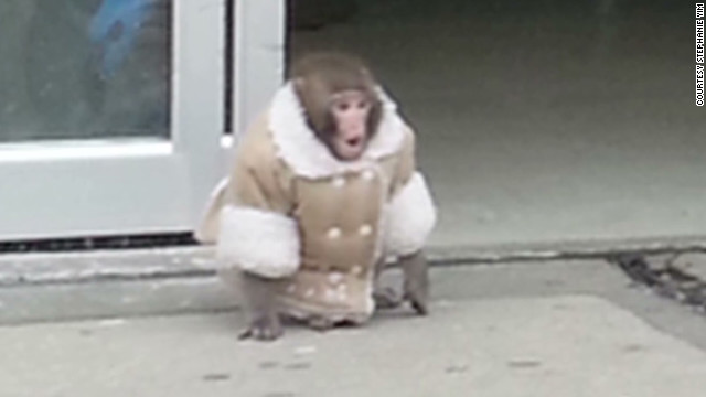 Lost monkey roams IKEA