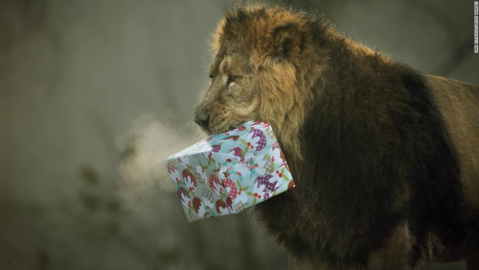 Lucifer the lion carries his Christmas present December 12 at the London Zoo, where some of the animals got festive treats.