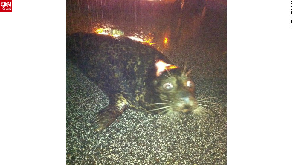 "A stranded seal sat on a <a href=""http://ireport.cnn.com/docs/DOC-806046"">Duluth, Minnesota</a>, roadway after it was washed out of the Lake Superior Zoo during the June flooding. This image, shot by Ellie Burcar - who discovered the seal - went viral. Authorities soon arrived and the seal survived the ordeal."