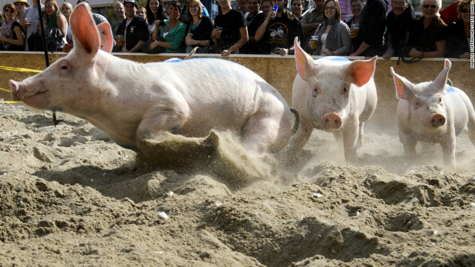 In the Swiss ski resort of Klosters, the first day of January is celebrated with a piglet race in which 10 tiny porkers sprint through the snow for the enviable prize of being spared from the sausage factory.