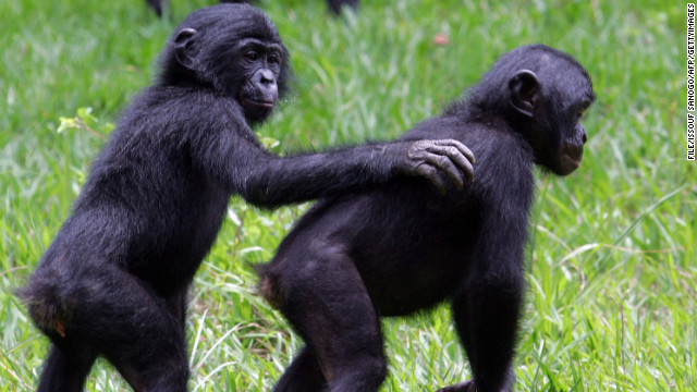 Study: Bonobos talk like babies