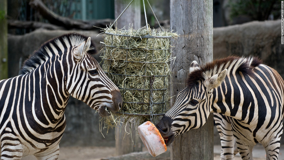 A pair of Zebras attempts to eat an iced carrot block at Taronga Zoo.