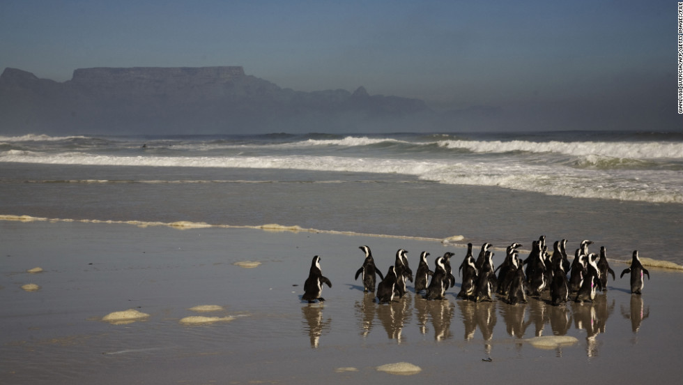 Penguins walk toward the ocean on Blouberg Beach outside of Cape Town.