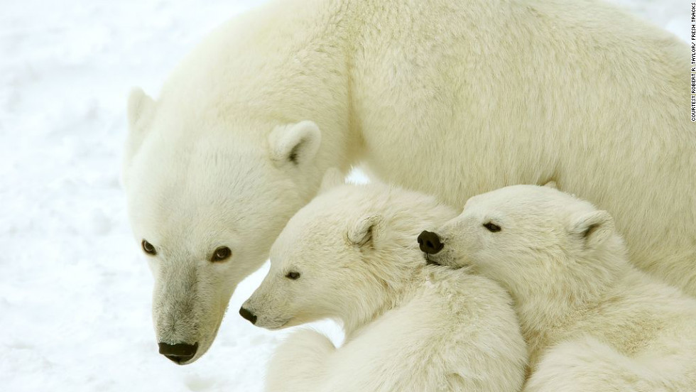 The best polar bear watching is in October and November as the Hudson Bay begins to freeze.
