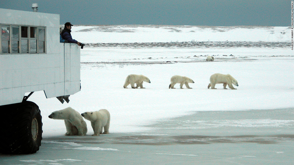 Want to see polar bears in the wild? Fresh Tracks Canada will take you to see them in Churchill, on the Hudson Bay in Manitoba.