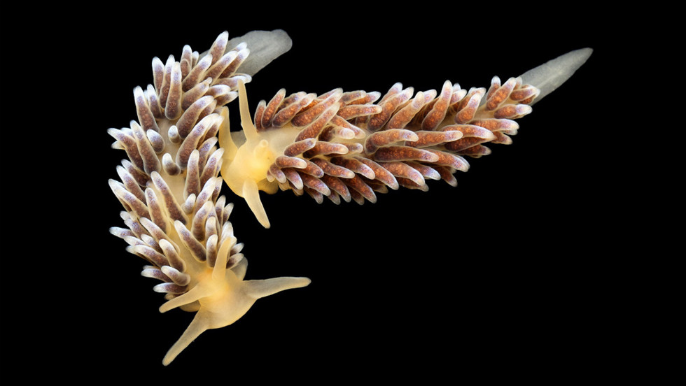 "Precuthona are a very small nudibranch variety (less than two in. in length) and live in the shallow waters of the tidal zone to 100 ft deep. <a href=""http://science.time.com/2013/01/15/denizens-of-the-deep-alexander-semenovs-pictures-of-undersea-creatures/"" target=""_blank"">See the complete gallery on TIME.com.</a>"