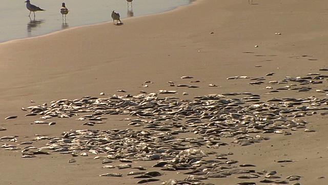 Thousands of dead fish litter shore
