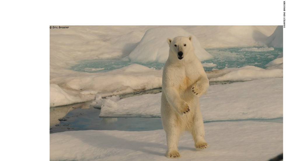 The imposing sight of polar bear on its hind legs, as snapped by Eric Brossier. The giant Arctic creatures are a common sight alongside the likes of whales, walruses and seals,  Brossier said.