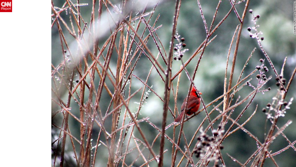 "A cardinal perches on shimmering branches after a Greenville, North Carolina, <a href=""http://ireport.cnn.com/docs/DOC-917751"">ice storm</a> on January 26. ""I have an interest in weather and animal photography, so I decided to walk around and see what interesting images I could find,"" said Richard Barnhill."