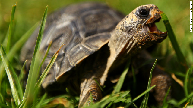 Pet tortoises are having a big week on the Web, from Brazil to the Super Bowl.