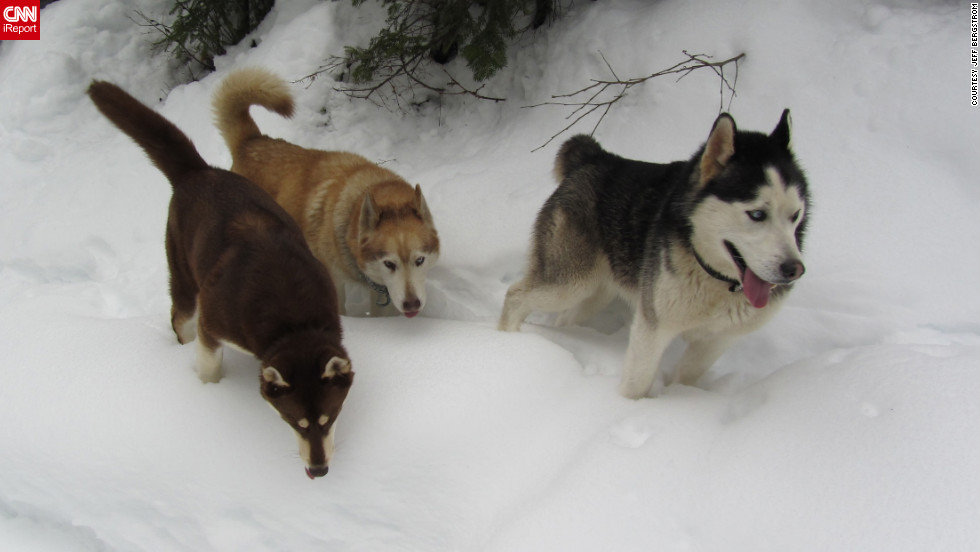 """Huskies Gus, Socia and Mic <a href=""""http://ireport.cnn.com/docs/DOC-921766"""">trek through the snow</a> in Mullan, Idaho, on February 2. """"They love the snow and are bred for pulling sleds, although we don't do that,"""" said Jeff Bergstrom."""