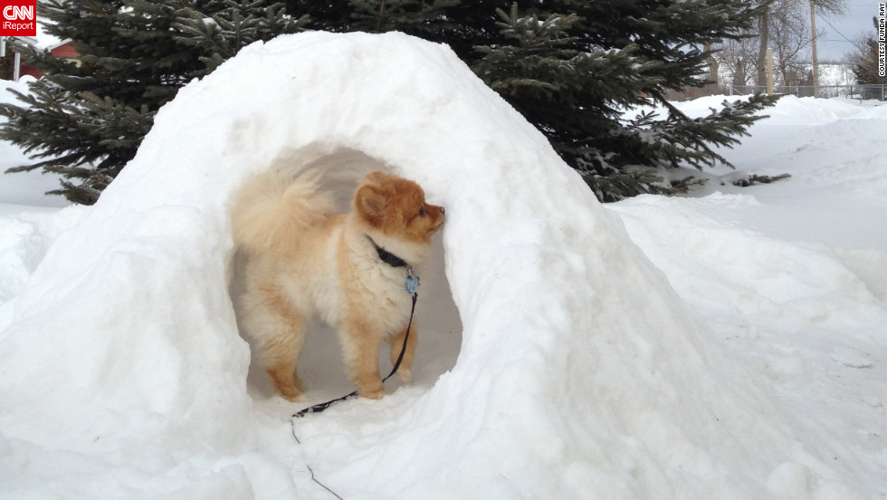 "Bentley, a Pomeranian puppy, explores his Hibbing, Minnesota, igloo on February 7. Funda Ray, who built the igloo for him, says Bentley loved exploring it -- <a href=""http://ireport.cnn.com/docs/DOC-921950"">and eating it</a>!"