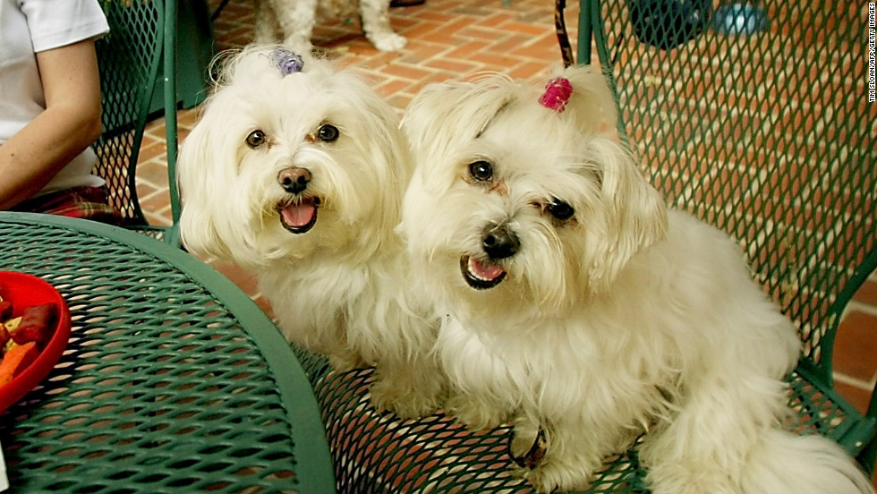 "In ancient Malta, some believed the <a href=""http://www.westminsterkennelclub.org/breedinformation/toy/maltese.html"" target=""_blank"">Maltese</a> dog had healing abilities. They were often brought to the bedsides of the ill in hopes of a speedy recovery."