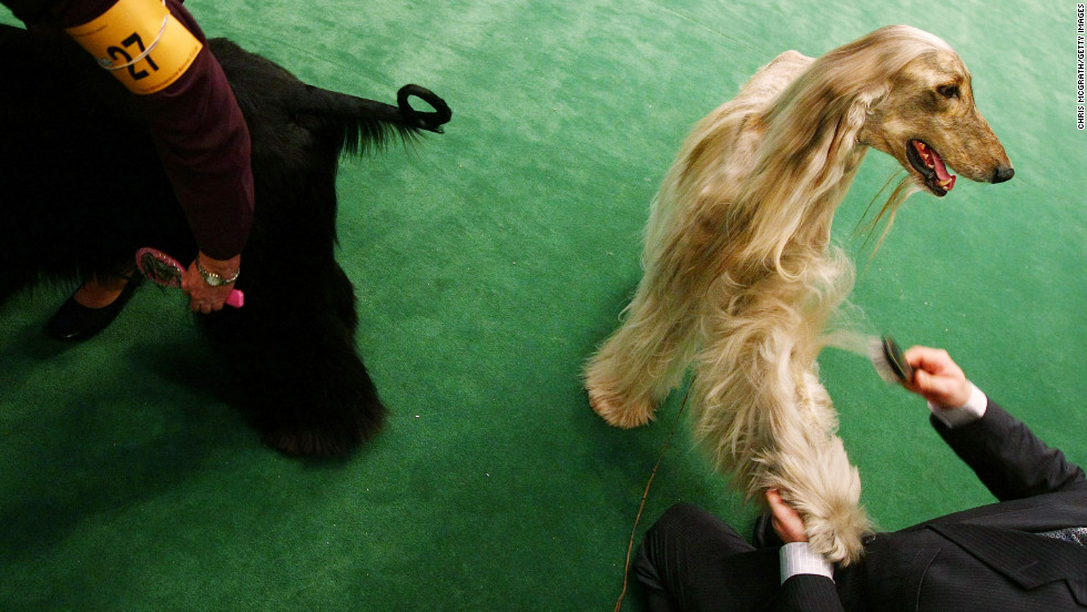 "A favorite of Afghan royalty for centuries, the <a href=""http://www.westminsterkennelclub.org/breedinformation/hound/afghanhd.html"" target=""_blank"">Afghan Hound</a> was bred to hunt gazelle, snow leopards and hare."