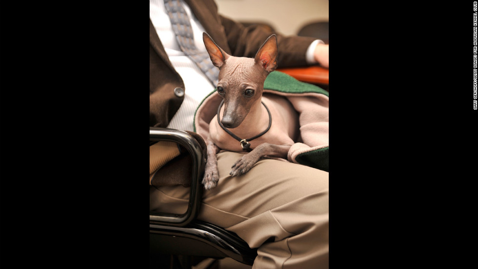 "It's far easier to call this breed the ""Mexican Hairless,"" but the <a href=""http://www.westminsterkennelclub.org/breedinformation/non-sporting/xoloitzcuintli.html"" target=""_blank"">Xoloitzcuintli</a> (Show-low-itz-quint-lee) was prized by Aztecs as the guard dogs of the dead. They can still be found in Mexican jungles."