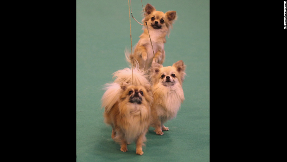 """These tiny dogs with mysterious origins (people speculate <a href=""""http://www.westminsterkennelclub.org/breedinformation/toy/chihua.html"""" target=""""_blank"""">Chihuahuas</a> were developed by Aztecs, ancient Egyptians, the Sudanese or perhaps in Malta) have been used for religious sacrifice, eaten by conquistadors and used to guide their dead owners' souls to the hereafter."""