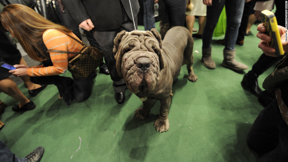 "Known as an ancient companion of Roman warriors, the <a href=""http://www.westminsterkennelclub.org/breedinformation/working/neamastif.html"" target=""_blank"">Neapolitan Mastiff</a> is a guard dog with a twist: Italian owners bred this dog to startle, amaze and astonish onlookers."