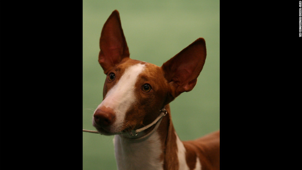 "Although named for the island of Ibiza, the <a href=""http://www.westminsterkennelclub.org/breedinformation/hound/ibizan.html"" target=""_blank"">Ibizan Hound</a> was known as a hunting dog in ancient Egypt. They are distinguished by jumping like deer as they chase their prey."