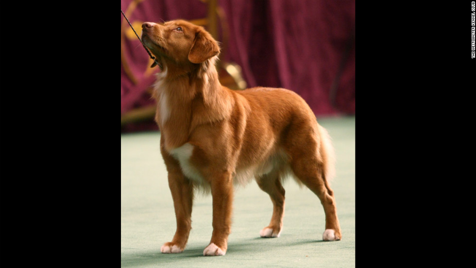 """The <a href=""""http://www.westminsterkennelclub.org/breedinformation/sporting/novascotiaduck.html"""" target=""""_blank"""">Canadian Nova Scotia Duck Tolling</a>, a retriever, was bred to play so beguilingly along a shoreline, as its owner threw a stick or ball, that ducks would leave their hiding places in curiosity. This dog lures ducks in for the hunt."""