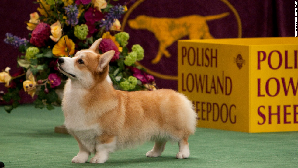 "Many dog breeds recognized by the Westminster Kennel Club are named for the work they were bred to do, such as pointers, retrievers and shepherds. But some dog breeds are not as obvious. <a href=""http://www.westminsterkennelclub.org/breedinformation/herding/pembrok.html"" target=""_blank"">Pembroke Welsh Corgis</a>, for example, are well-known as the foxy, playful pet of Queen Elizabeth. No taller than 2 feet, this dog was originally bred to herd and drive cattle."