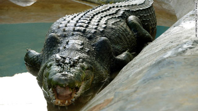 (File) Lolong is seen here in a caged pen in the southern Philippine town of Bunawan on September 21, 2011.