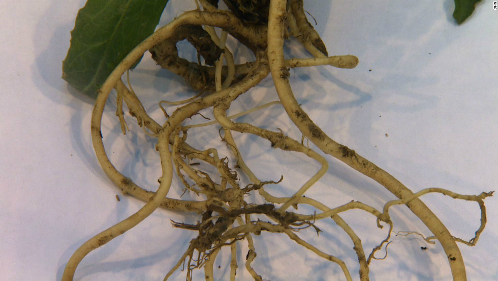 The roots of the dandelion are rich in latex, but are too small to be harvested effectively. By crossing genetic material from Russian dandelion and the common dandelion using DNA technology, scientists at Dutch biotech firm KeyGene hope to create a more commercially viable crop with larger roots.