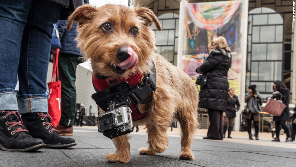 Rudy the dog walks around Fashion Week videotaping shoes for a fashion beauty website on February 12.