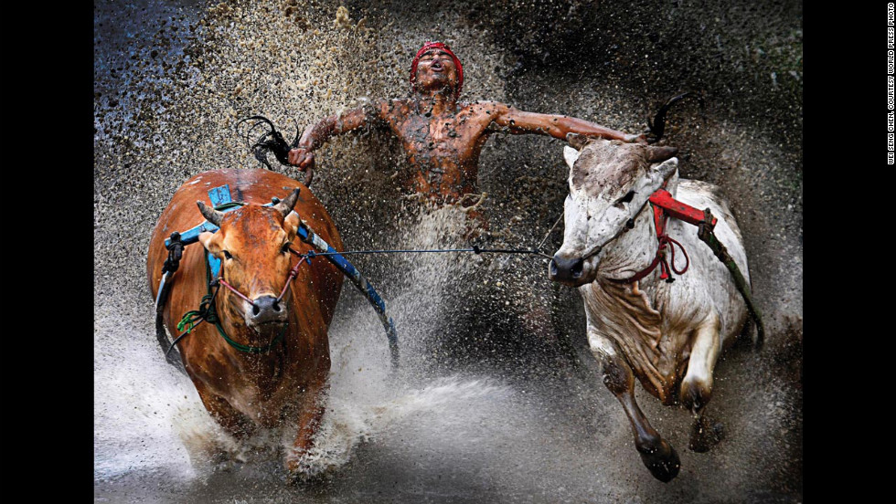 <strong>First prize sports -- sports action single: </strong>An Indonesian jockey, his feet in a harness strapped to bulls and clutching their tails, appears joyous at the end of a dangerous run across rice fields as part of the Pacu Jawi bull race on February 12, 2012,  in West Sumatra. The bull race is a popular competition between villages at the end of harvest season.