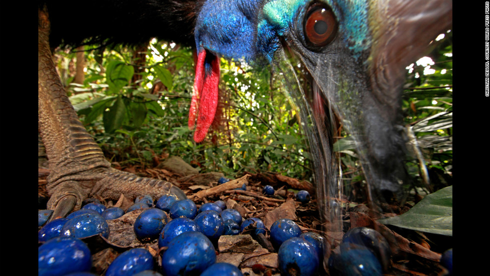 <strong>First prize -- nature single:</strong> Australia's endangered Southern Cassowary eats fruit from a Blue Quandong tree on November 16, 2012.