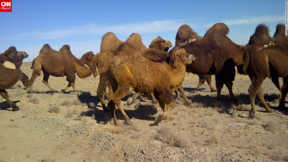"<a href=""http://ireport.cnn.com/docs/DOC-889113"">Batchuluun Amrita</a> photographed camels in the Umnugobi province of Mongolia. He says one of the highlights of visiting the Gobi Desert was the peacefulness. ""You can rest yourself without any worries."""