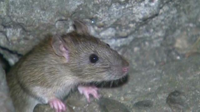 Iranian sharpshooters target rats
