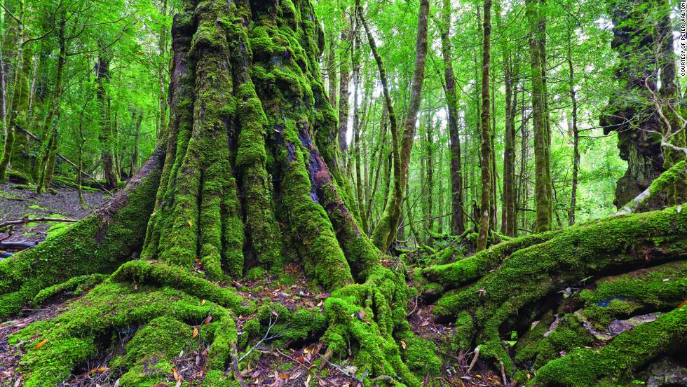 Tarkine Rainforest: A wonderland of wild rivers, secret waterfalls, giant tree ferns, rare birds and the near-extinct Tasmanian devil.