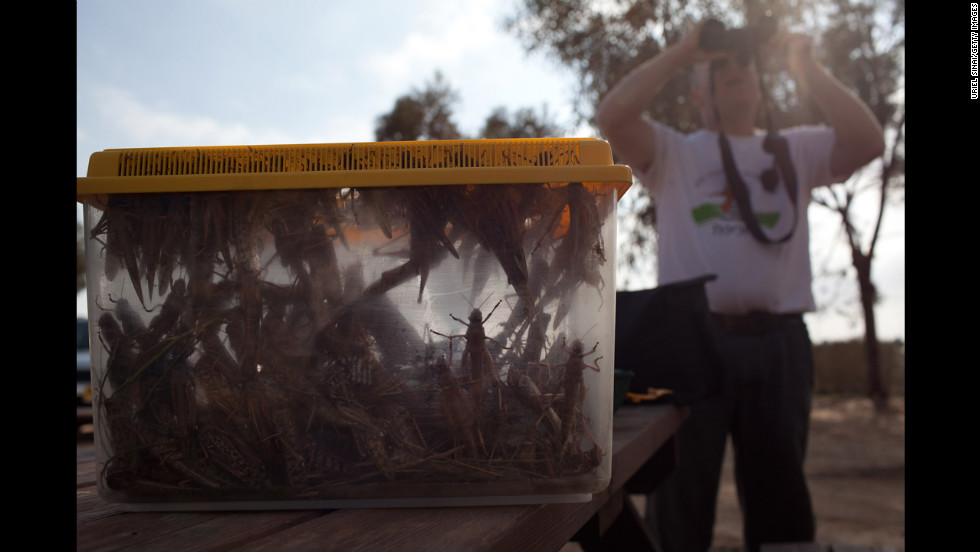 An Israeli man looks through his binoculars as he collects locusts in Kmehin on Wednesday.