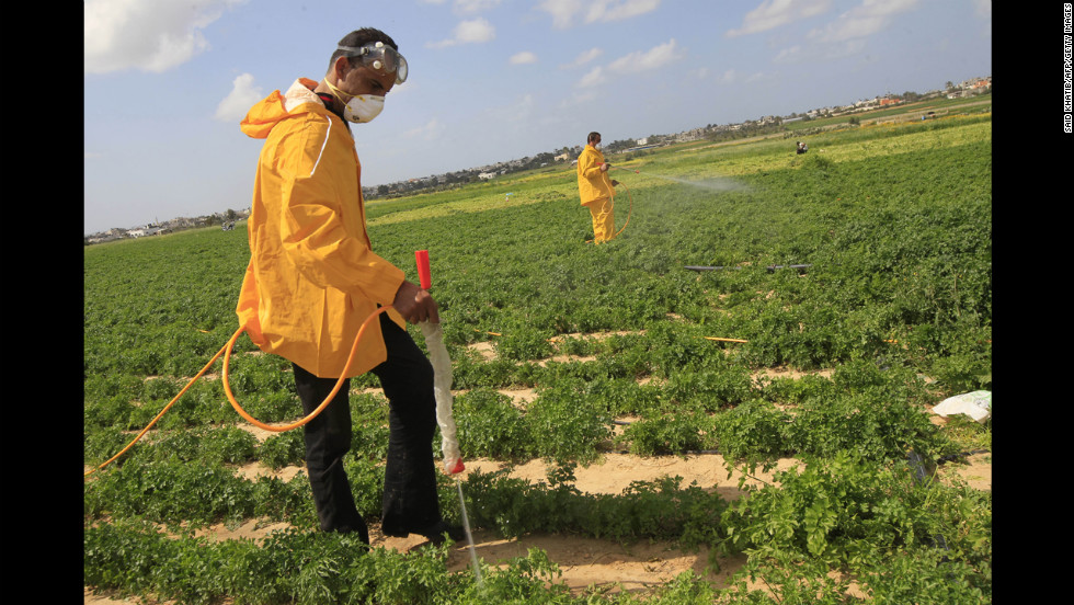 Palestinian farmers spray insecticides in a field in Khan Yunis, Gaza, on Tuesday, March 5.