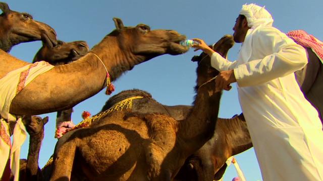 Festivals celebrate culture, camels