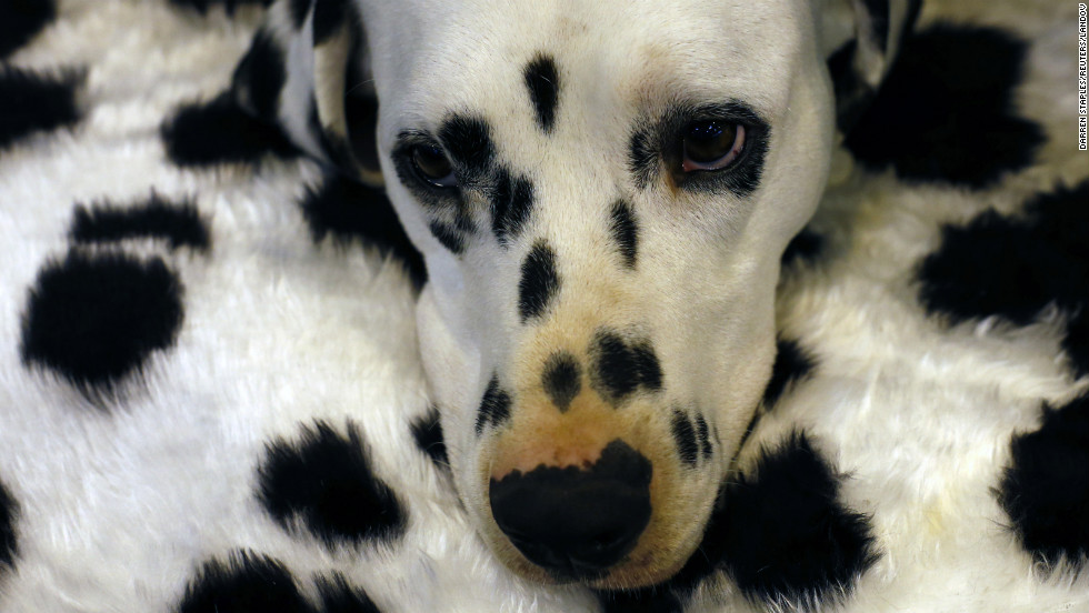 A Dalmatian rests on the second day of Crufts.