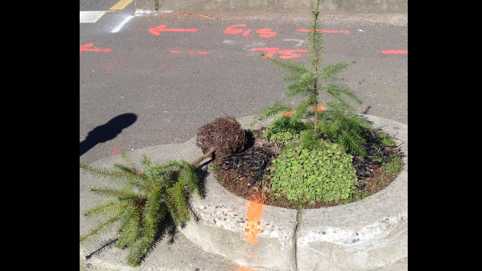 A stolen tree, here returned, lies on the ground next to the one the Parks department planted to replace it at Mill Ends Park in Portland, Oregon, on Friday, March 9.  The department says they will replant the returned one in another location if it is still viable.